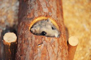 hamster by Shiiranni