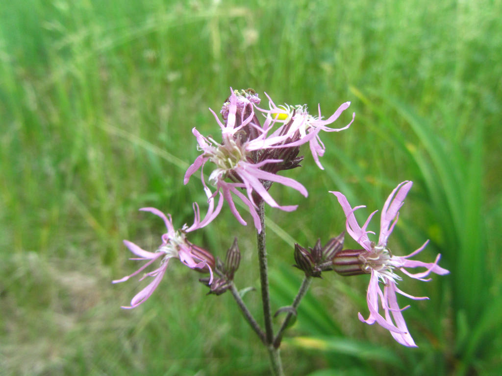 Common Weed - Ragged-Robin by Crematia18