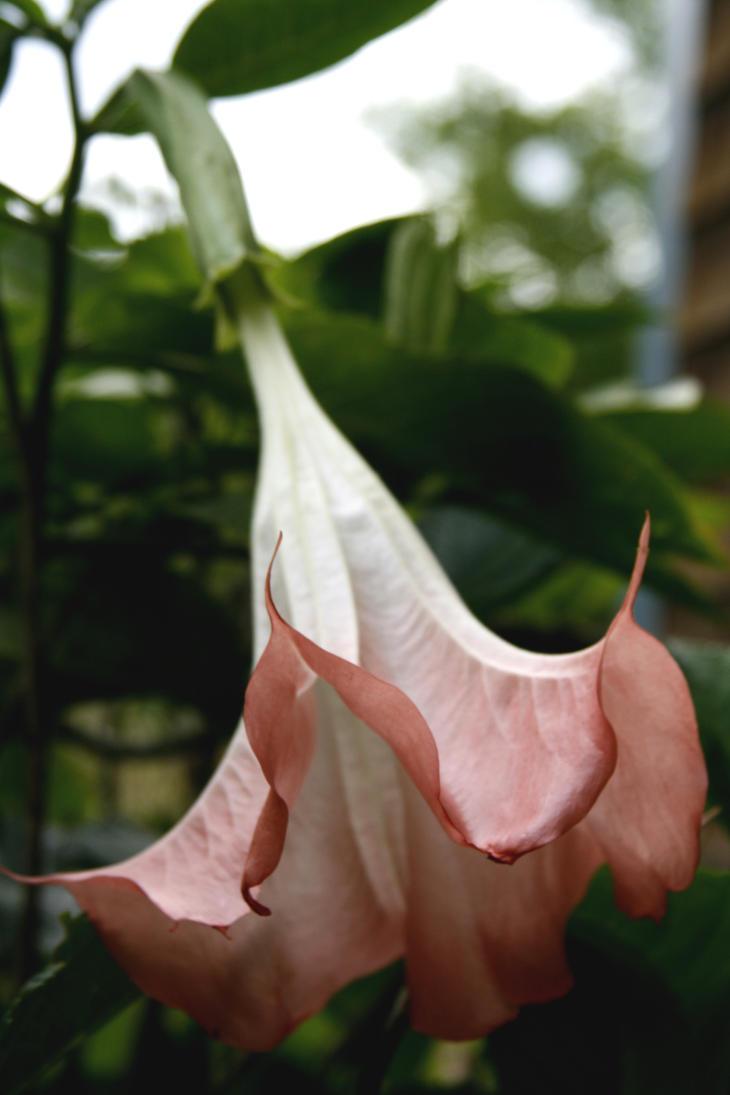 Pink Angel Trumpet Vine Aka Brugmansia By Crematia18 On Deviantart