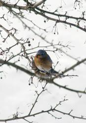 Eastern Bluebird 2018