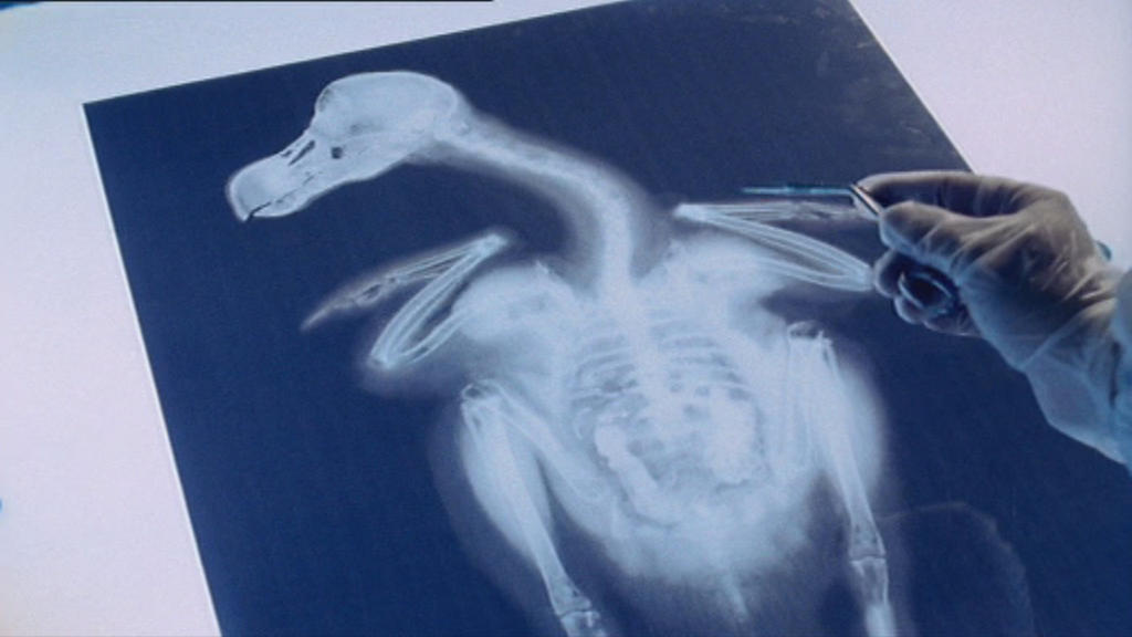 X-ray of Dodo with Disparate Parasite by RayTom