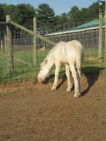 American Cream Draft Foal by xXxImpulsivexXx