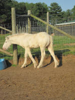 American Cream Draft Foal 2 by xXxImpulsivexXx