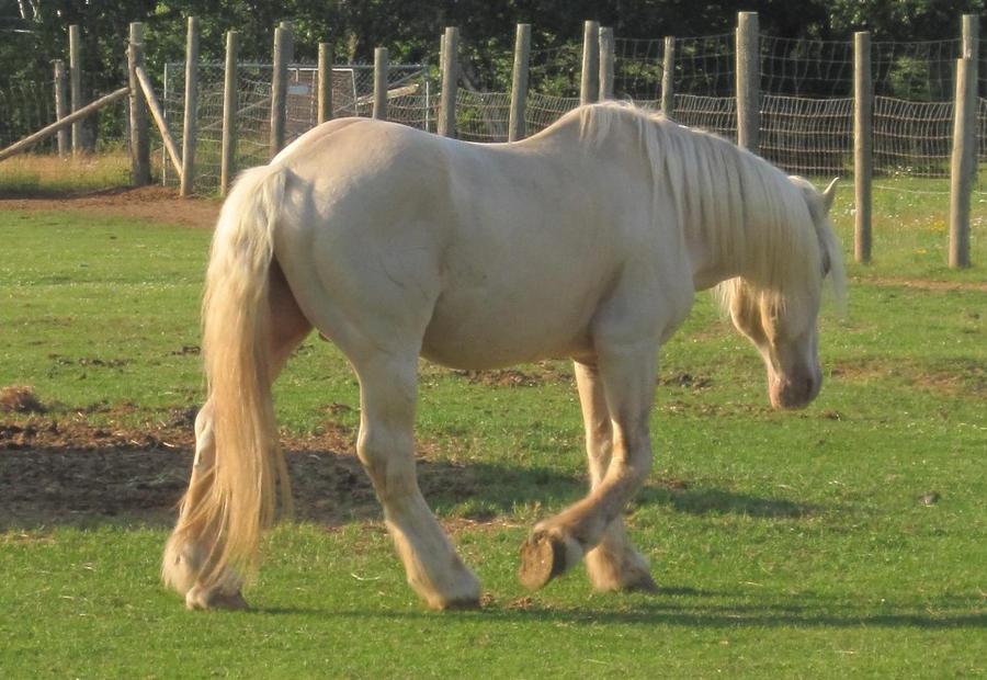 American Cream Draft Stallion by xXxImpulsivexXx