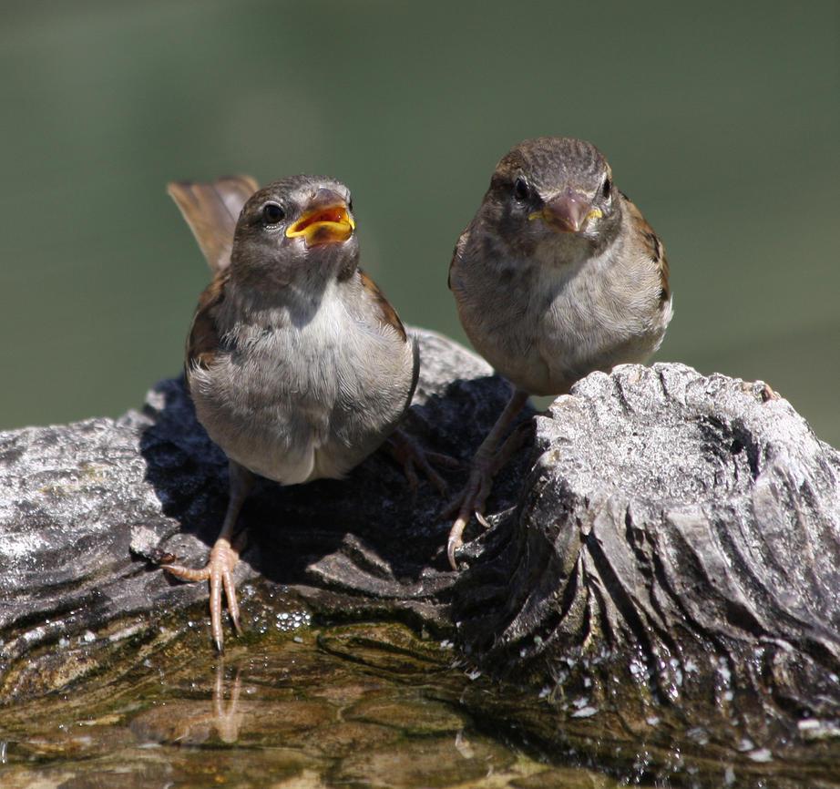 sparrows by carol68