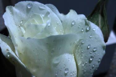 White Rose 3 by marq4porsche