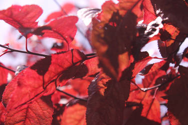Red Leaves 1 by marq4porsche