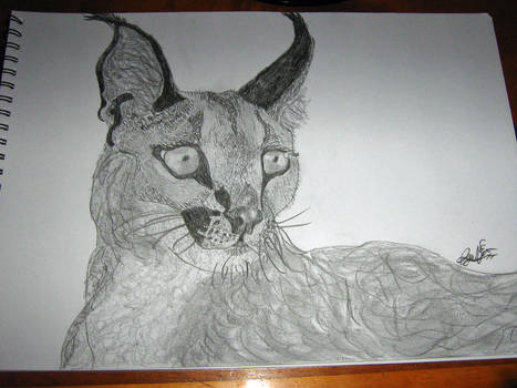 caracal(first drawing in freaking ages)