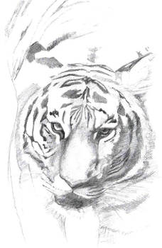 Tigre2 schizzo contrast biglight