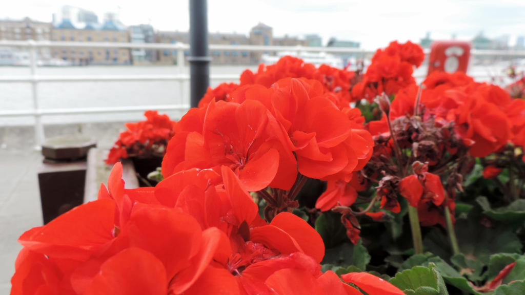 Red flowers, London Bridge by SmoochieCuddlekins