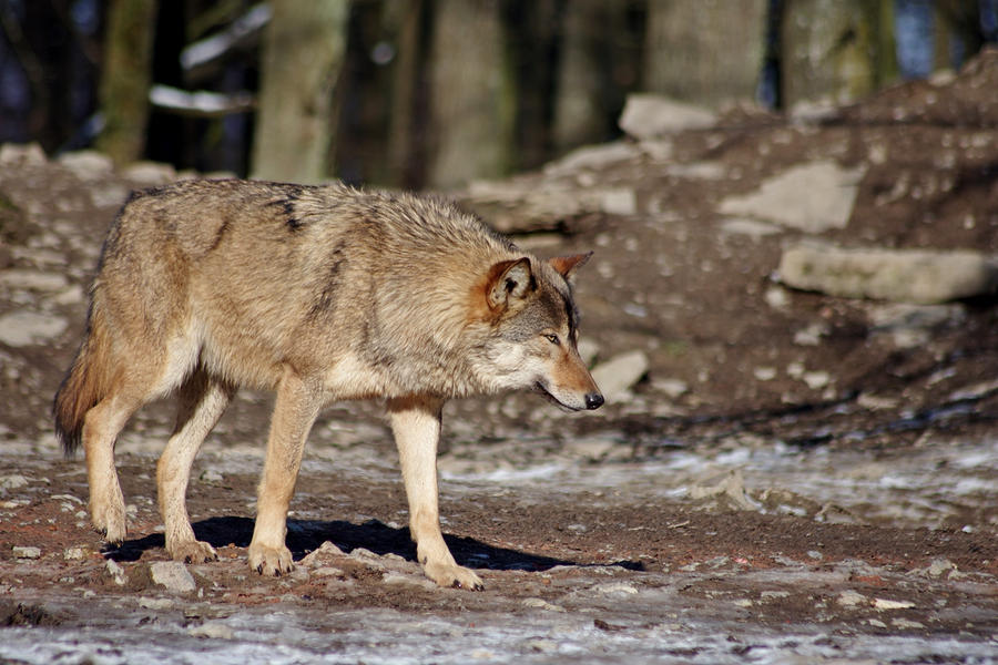Wolf16 by Prinzess-Stock