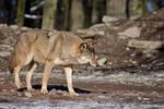 Wolf16