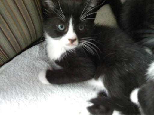 Tuxedo Kitten by reiney
