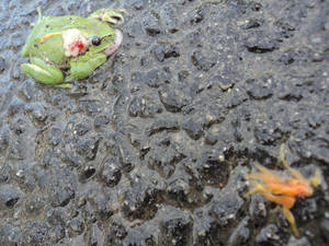 Still the dead plastic frog with an orange flower