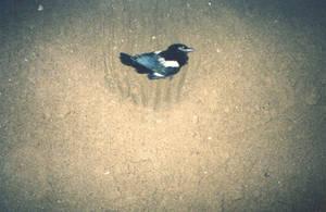 Dead Jay burial at the beach