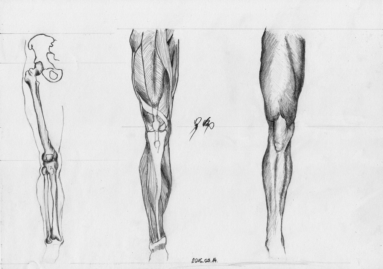 Leg front view Anatomy Practice by WeAreMeHUh on DeviantArt