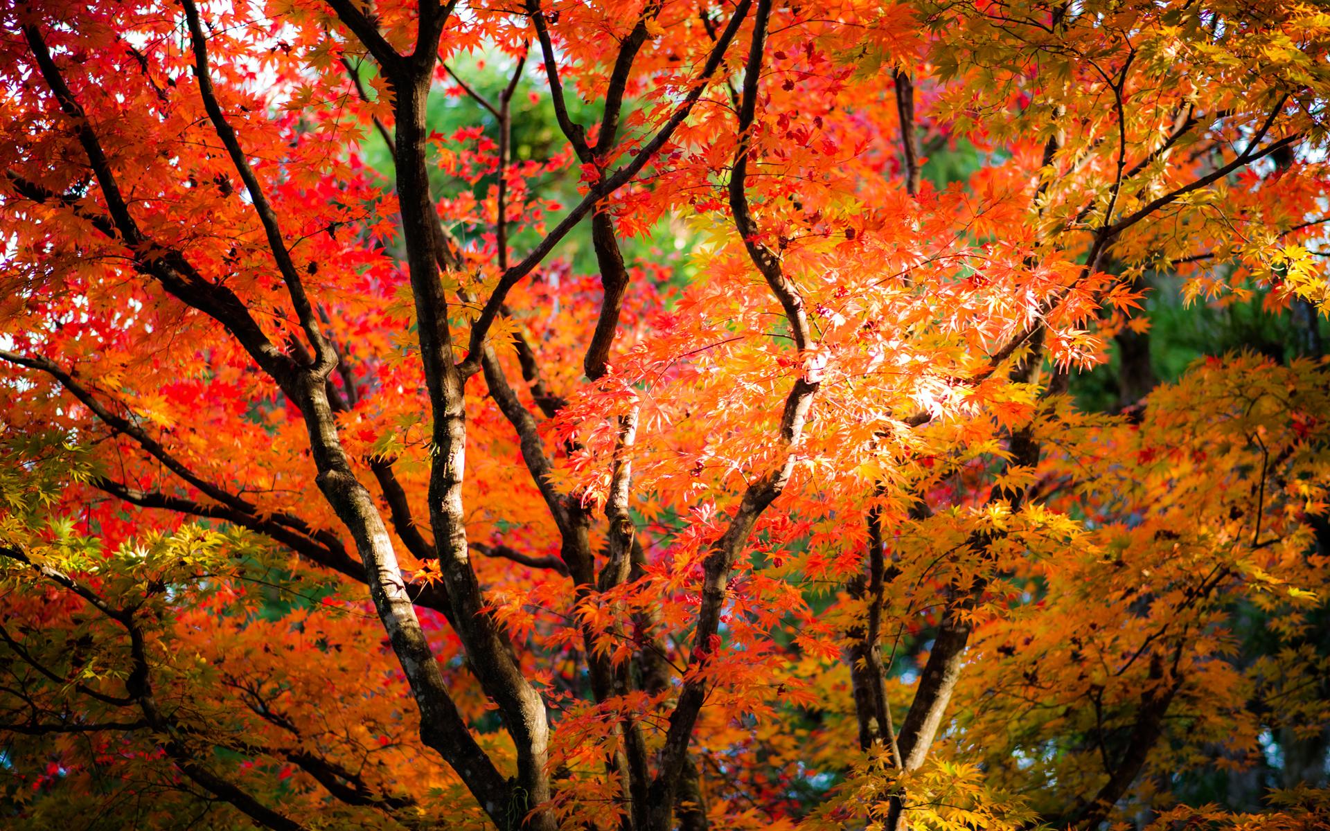 Momiji in Nikko by burningmonk