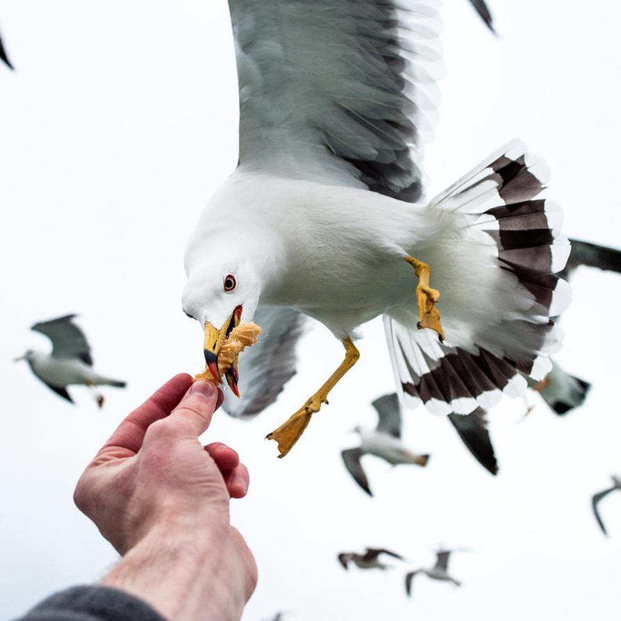Seagull by burningmonk