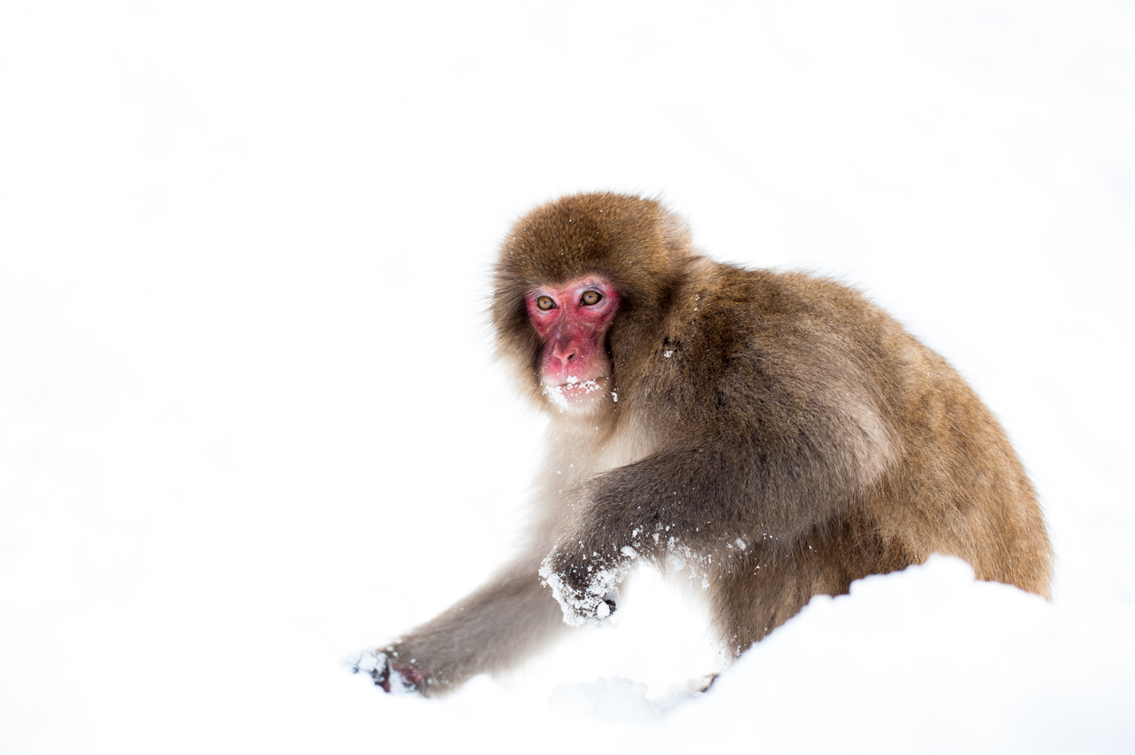 Snow Monkey by burningmonk