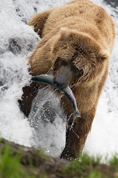 Bear fishing by mercorex