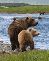 Coastal Brown Bears by mercorex