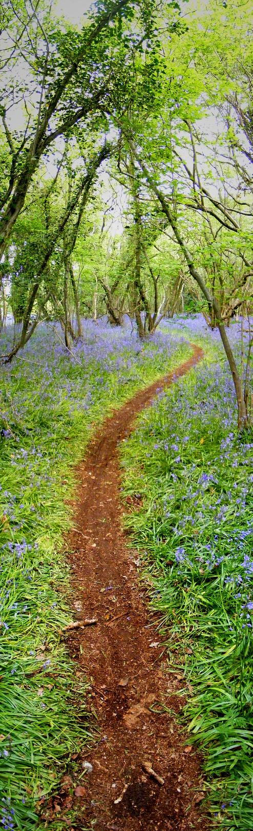 bluebell path by adamlack