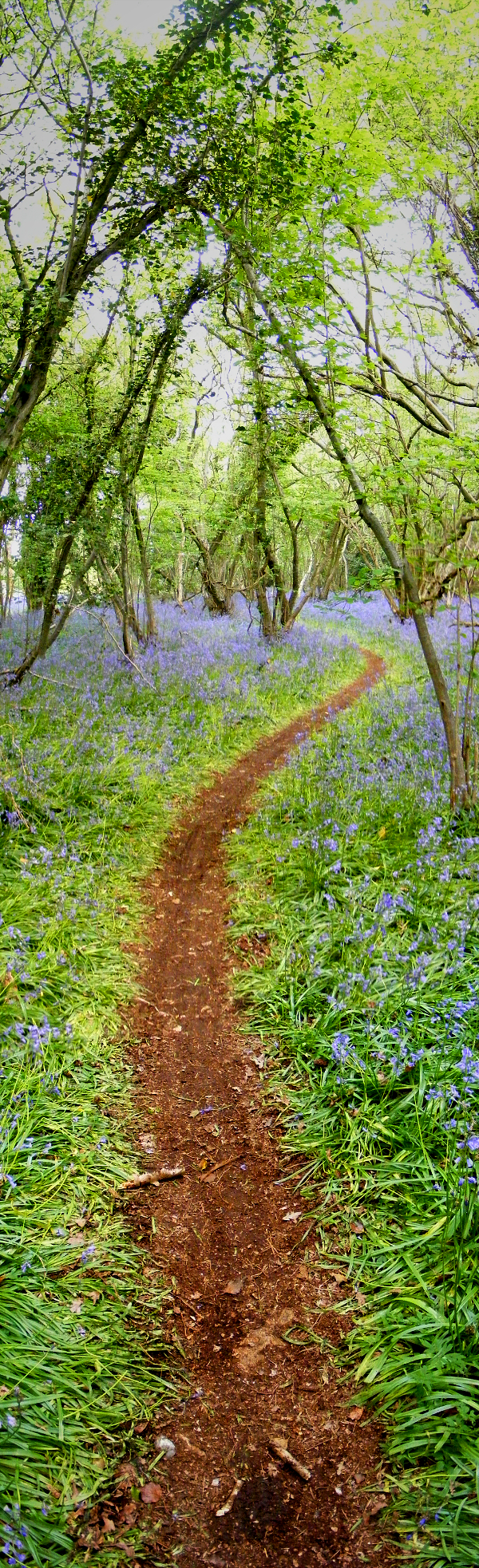 bluebell path by adamlack