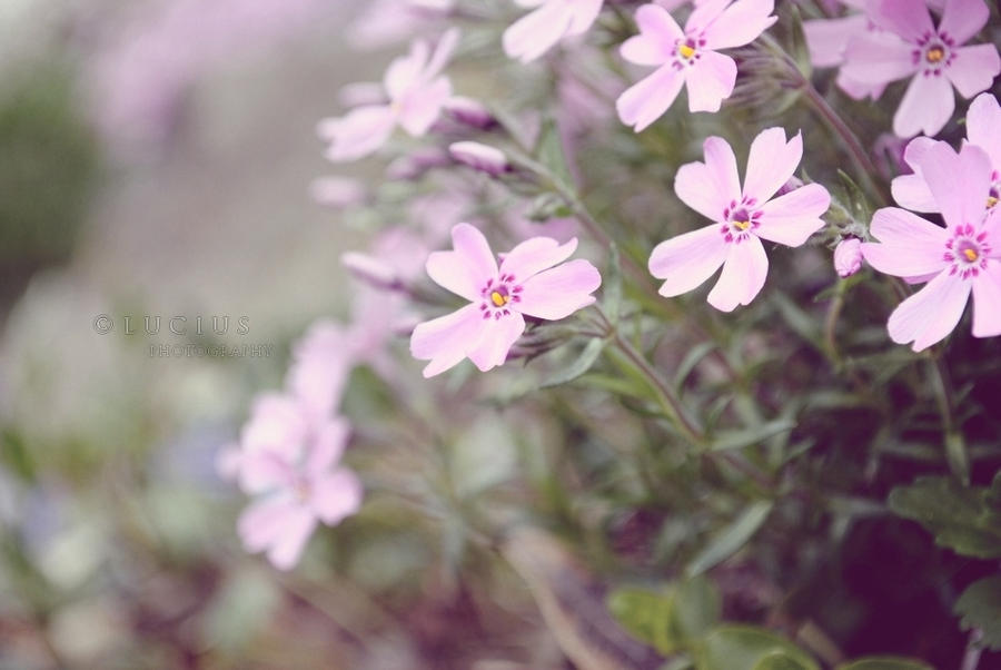 Flowers of pink by LuciusThePope