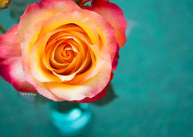 Rose dream of Apricot by Engelsblut24