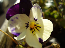 Pansy for Thought by Sascia