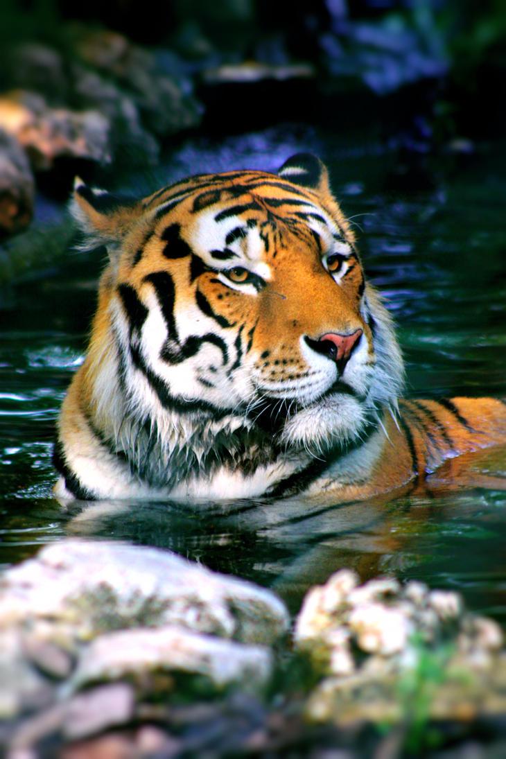 tiger by margaretaseewald