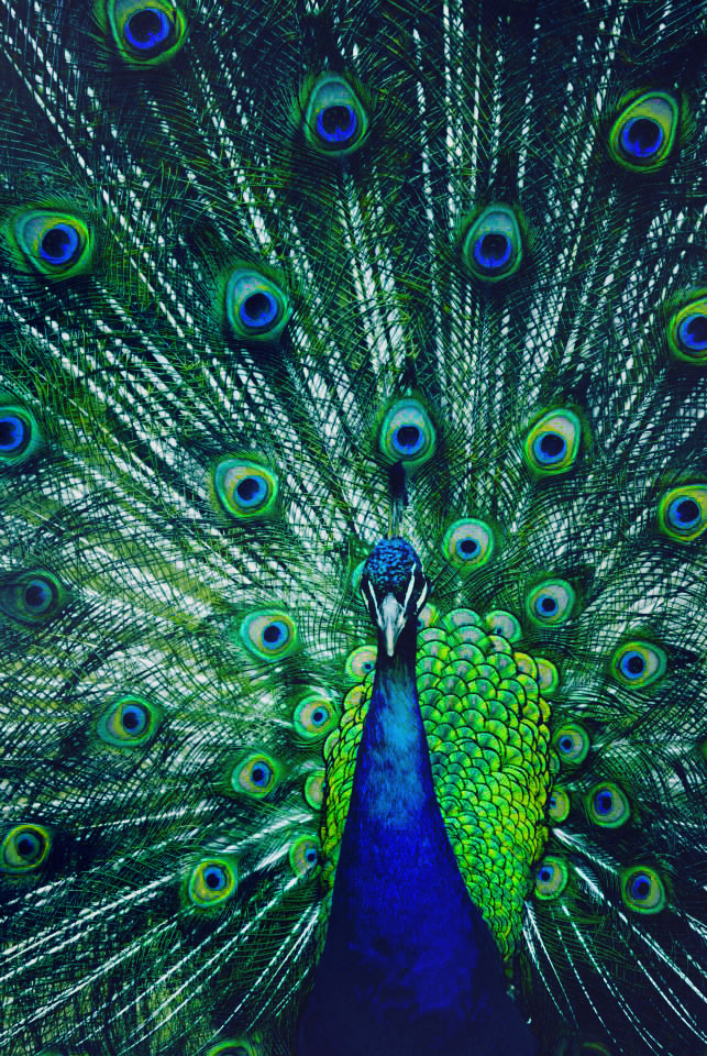 Peacock Paragon by teenageparagon