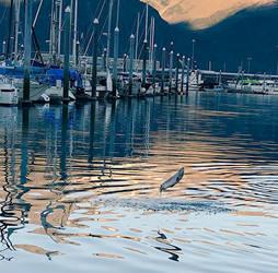 Jumping Silver Salmon in Seward by NycterisA