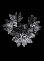 Backyard Flowers In Black And White 11 by thelearningcurve-da