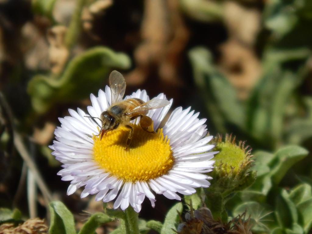 A Bumblebee Polinates by GirlOffKilter