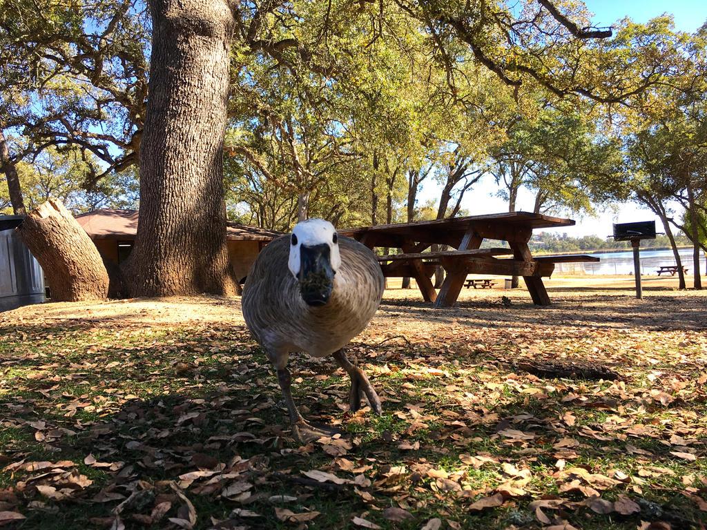 The White-Headed Goose by GirlOffKilter