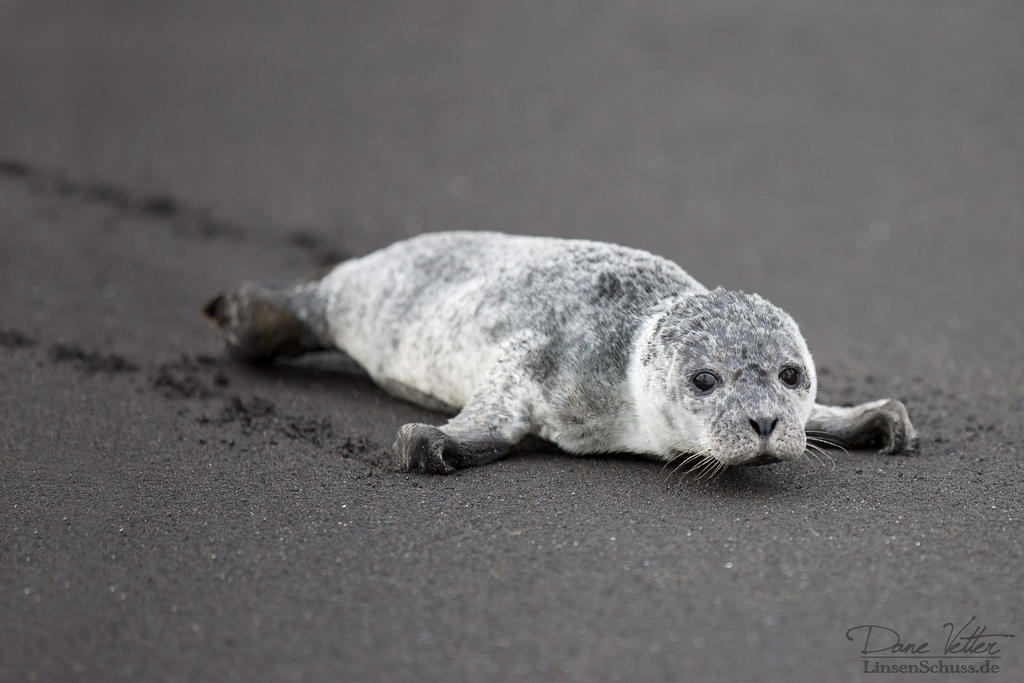 The lonely harbor seal baby by LinsenSchuss
