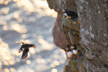 The puffin by LinsenSchuss