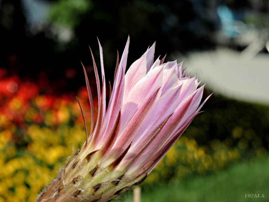 Cactus Blossom almost faded by Escara40