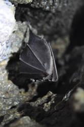 Rhinolophidae by Tulla-Morwen