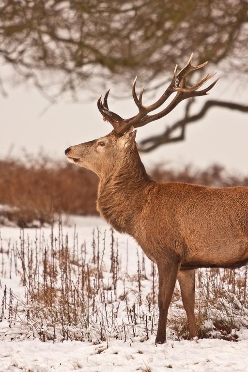 red deer 054 by deer--hunter