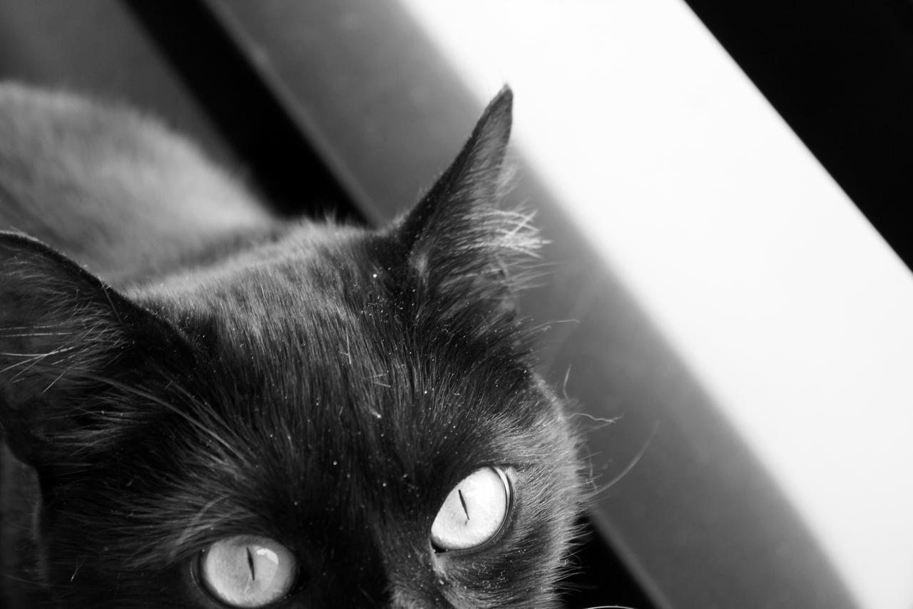 Image result for black cat black and white