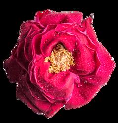 Rose HD .PNG