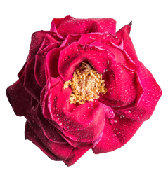 Rose HD .PNG