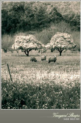 Vineyard Sheeps