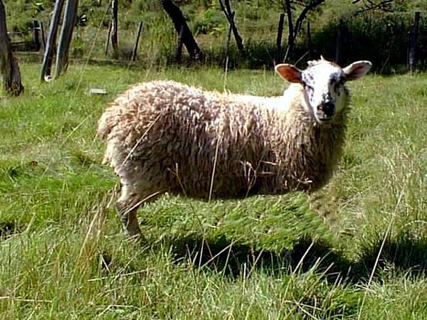 mouton unijambiste by duchange on deviantart. Black Bedroom Furniture Sets. Home Design Ideas