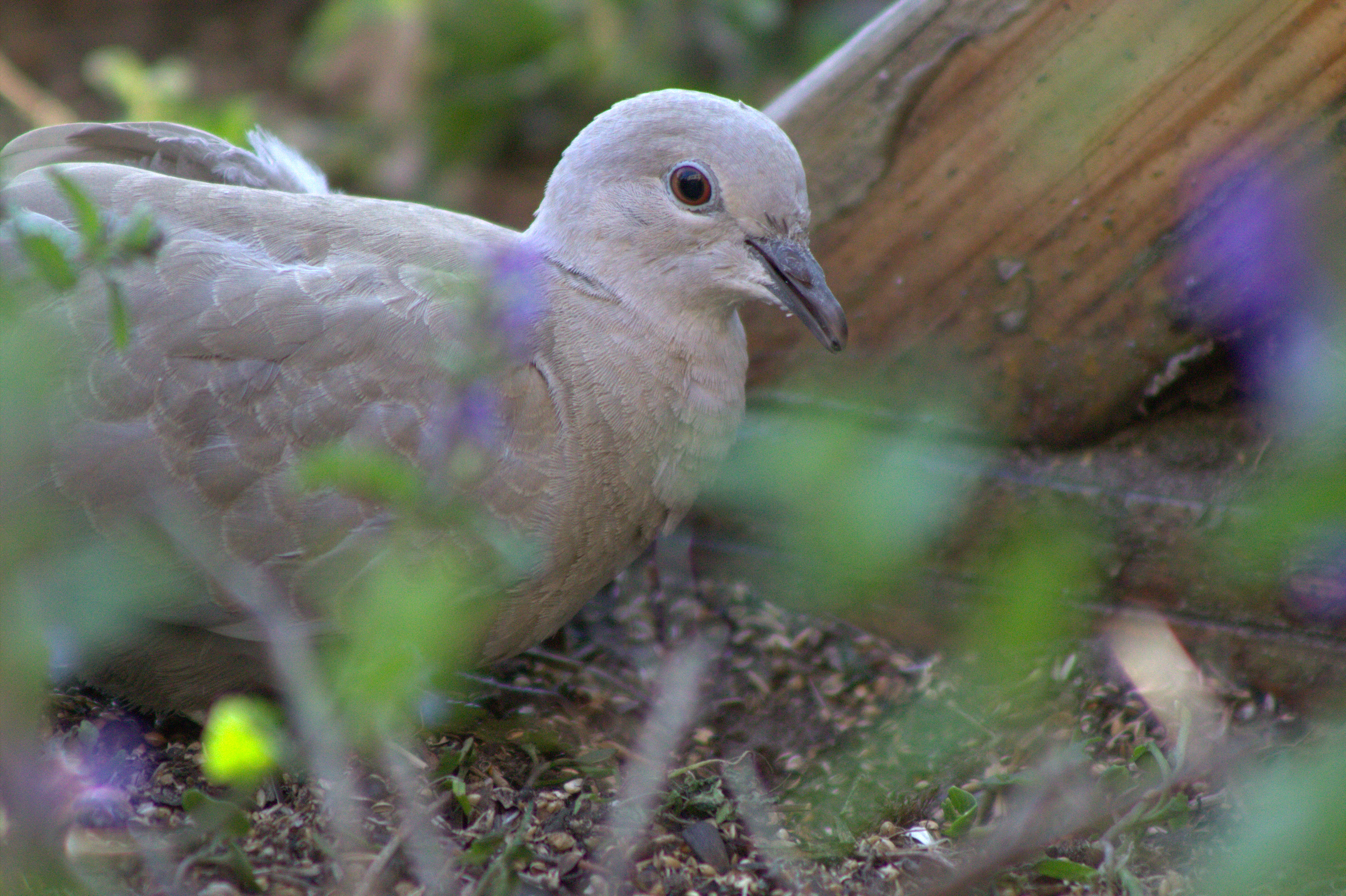 Young Collared Dove by Biology-Meets-Art