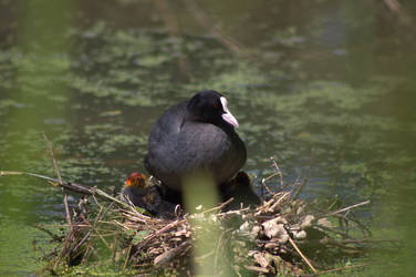 Coot on nest by Biology-Meets-Art