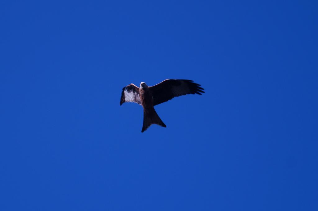 Red Kite by Azul-Seahorse