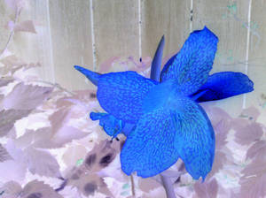 Blue Lilly 2